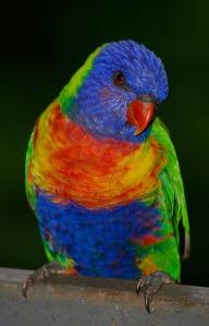 rainbow-lorikeet-671570_1280