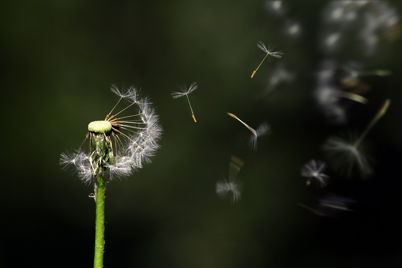dandelion-1931080_1280