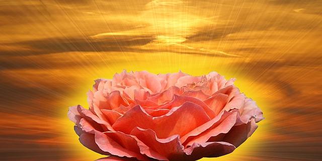 rose-73388_640
